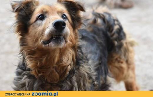Sopelek starszy, ale wesoły psiak szuka domu,  małopolskie Kraków