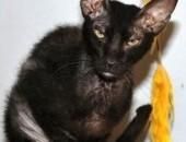 Dorosły Peterbald kotka