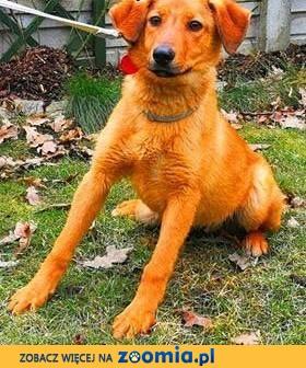 LAKI - roczny, delikatny i nieśmiały psiak; do adopcji,  łódzkie Łódź