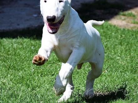 Pies bulterier samiec standard ZKwP rodowód FCI