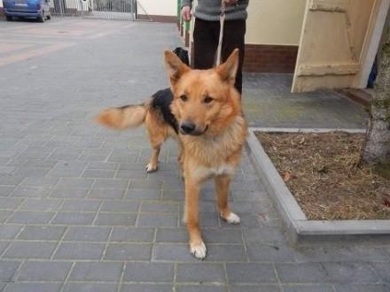 Piękny młody pies za kilka dni trafi do schroniska :( pilnie dom !   zachodniopomorskie Koszalin