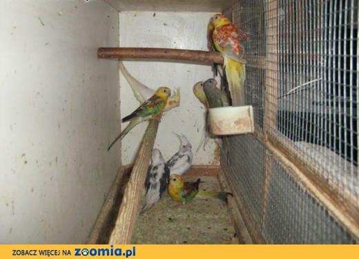 sprzedam nimfy,  Papużki faliste cała Polska