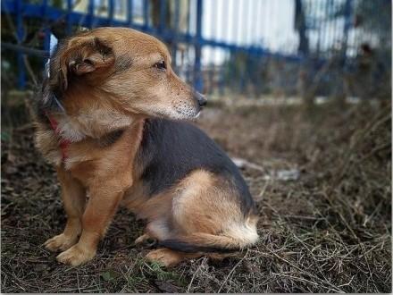 Średni 13 kg,4 lata,łagodny,przyjacielski,bezkonfliktowy,szczepiony psiak SAMIR.Adopcja.