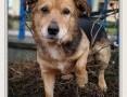 'Średni 13 kg,4 lata,łagodny,przyjacielski,bezkonfliktowy,szczepiony psiak SAMIR.Adopcja.