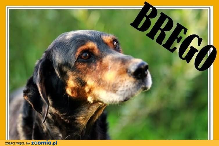 BREGO-gończy polski mix,duży,przyjazny,czujny pies.ADOPCJA