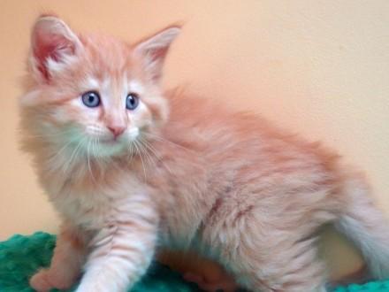 ruda norweska koteczka