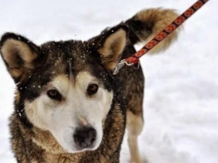 Luna- łagodna  kontaktowa suczka alaskan malamute szuka domu