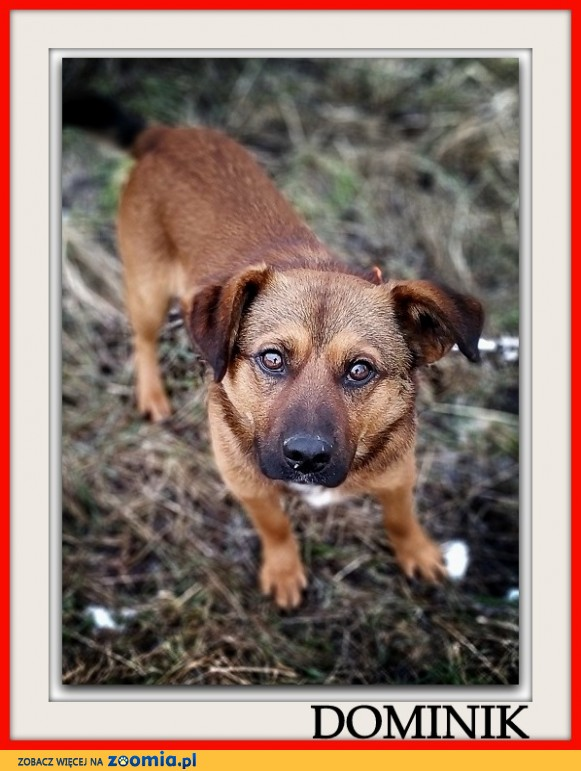 1,5 roczny,średni 10 kg,wesoły,towarzyski,łagodny psiak DOMINIK_Adopcja_