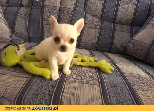 Chihuahua krótkowłose - mini szczeniaczek,  śląskie Częstochowa