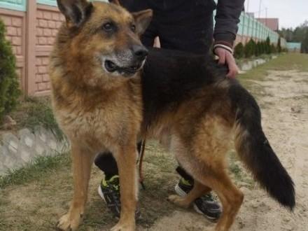 Wesoły  przyjacielski pies w typie owczarka niemieckiego szuka domu