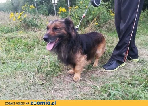 Puchacz - pies puchatek, na krótkich łapkach, kocha człowieka nad życie,  łódzkie Łódź