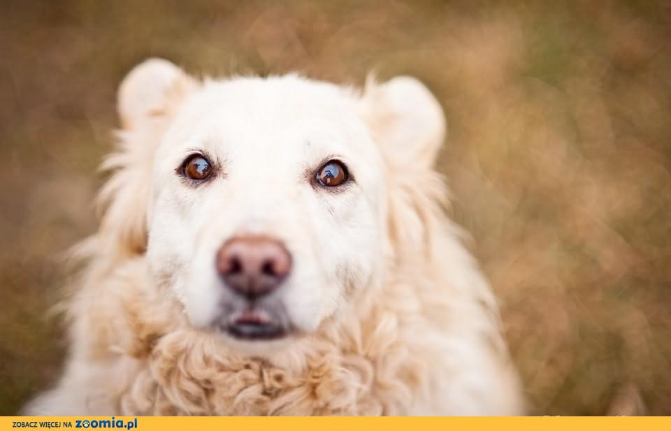 OTOZ Animals - Babi - cudowna biała owieczka czeka na domek!
