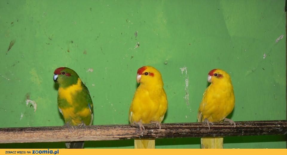 modrolotki i inne papugi