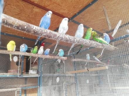 Papugi faliste 2018 pary samiczki samce
