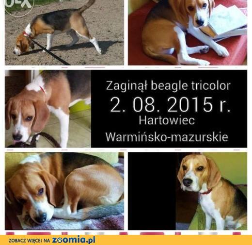 Zaginął beagle trikolor miejscowość Hartowiec ,  warmińsko-mazurskie Działdowo