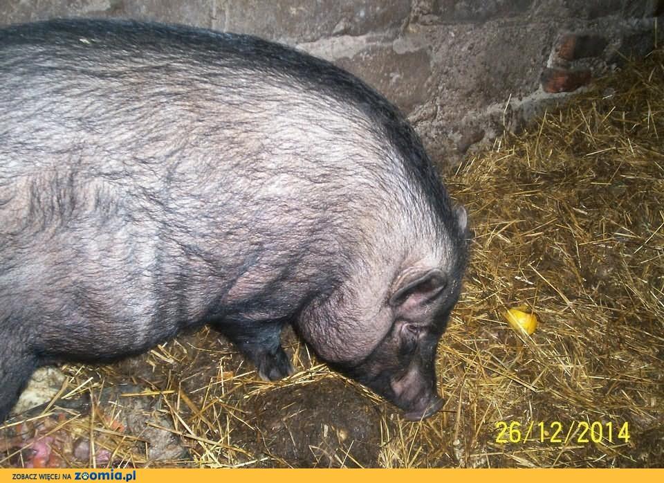 Świnia LEON