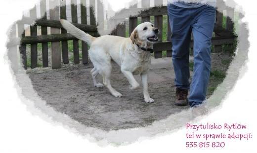 L O R D piękny pies dostojny jasny żółty labrador łagodny   małopolskie Kraków