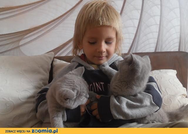 liliowe kociaki Brytyjskie z rodowodami,już do odbioru!