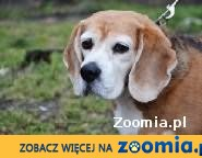beagle-wysterylizowana sunia z kompletem szczepień