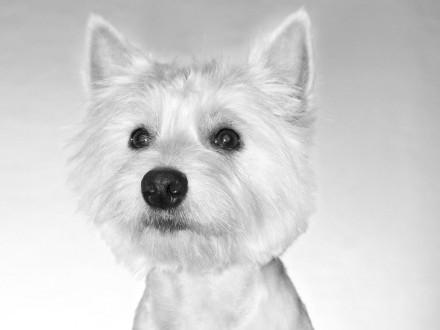 West Highland White Terrier Reproduktor  krycie