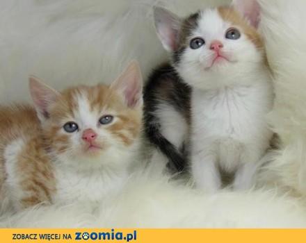 Urocze kocięta perskie i żeńskie dla nowego domu_