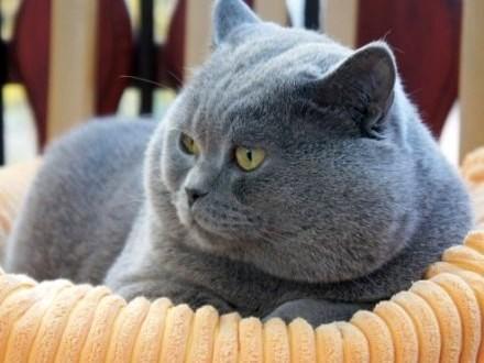 Gic Gral Koty Brytyjskie Koty Koty Reproduktory Archiwum