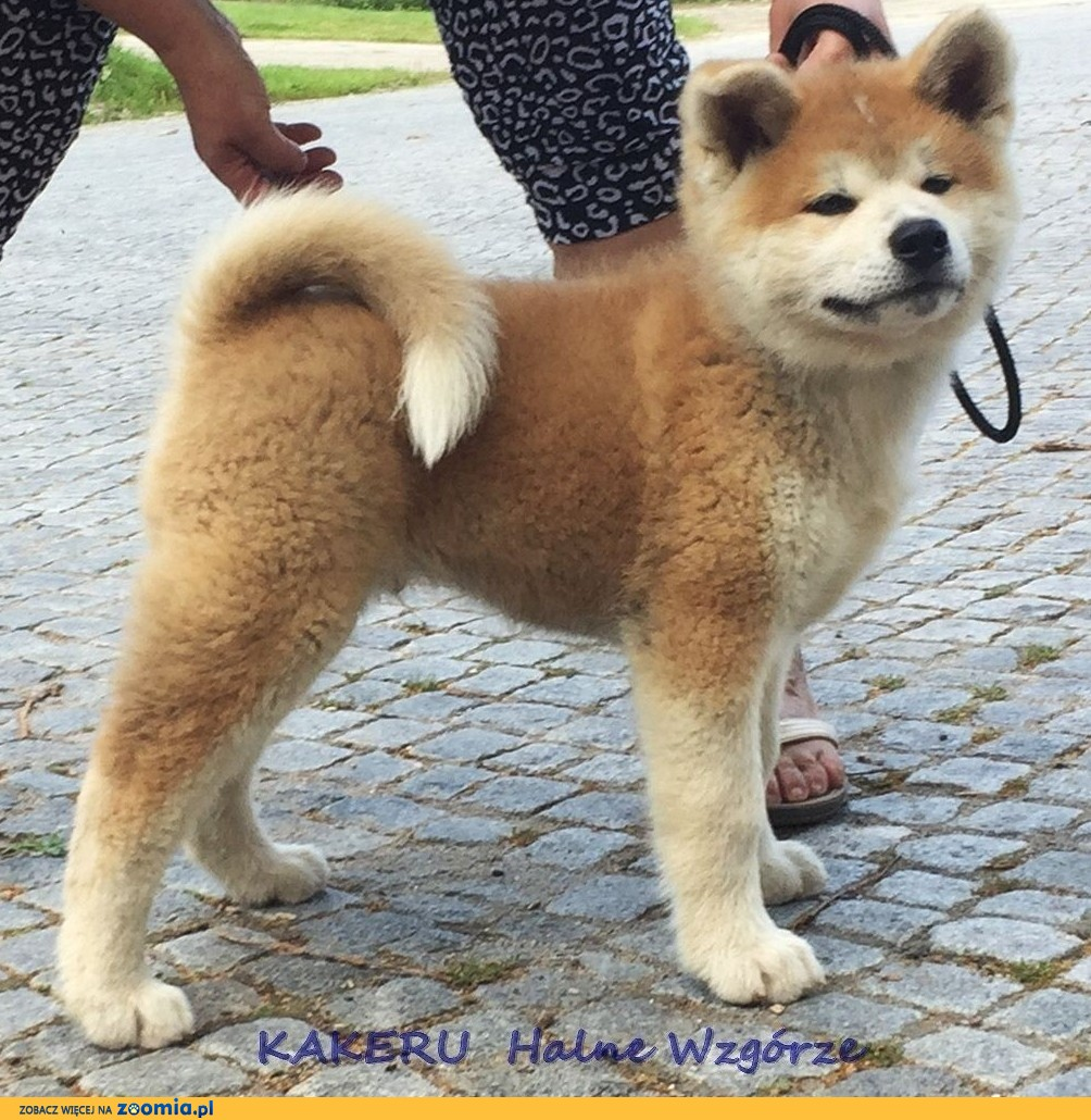 Akita , akita japonska , piękny pies 9 miesięczny po importowanym z Japonii Sangoku GO