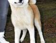 'Akita , akita japonska , piękny pies 9 miesięczny po importowanym z Japonii Sangoku GO