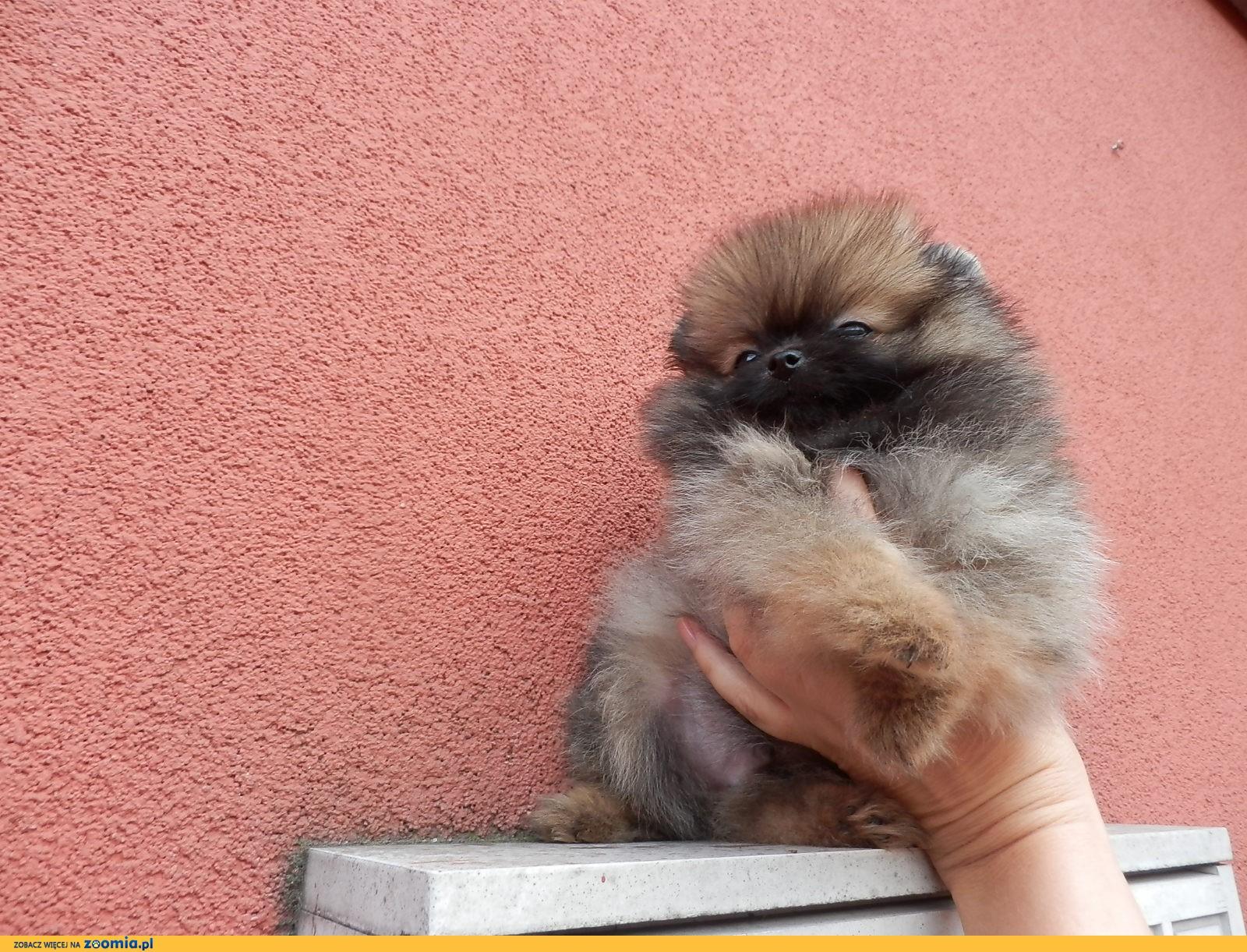 Szpic Miniaturowy Pomeranian Piesek Mini Boo 171 Pomeranian