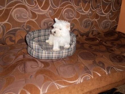 West Highland White Terrier- odchowane suczki