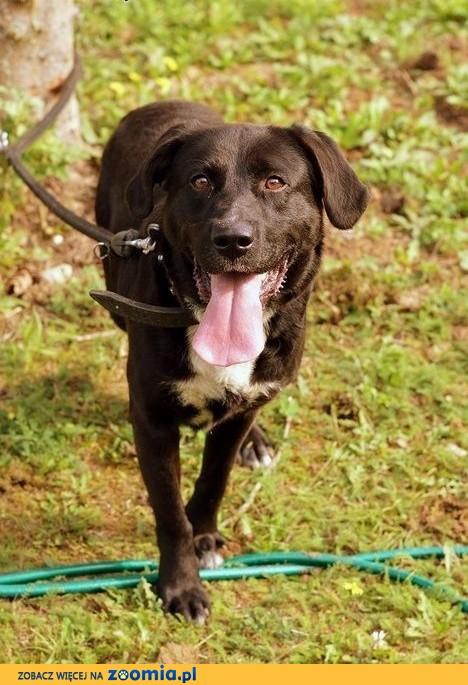 Wspaniały Leo w typie labradora :),  warmińsko-mazurskie Olsztyn