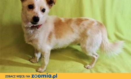 RAMBO - wrażliwy, malutki, 6 kg psiak; szuka domu,  wielkopolskie Poznań
