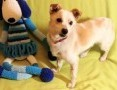 'RAMBO - wrażliwy, malutki, 6 kg psiak; szuka domu,  wielkopolskie Poznań