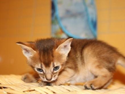 urocze abisyńskie kocięta szukające kochającego domu