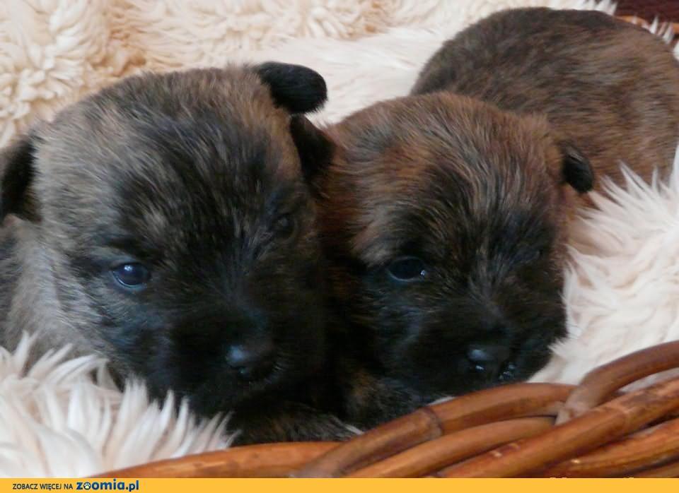 Śliczne szczenięta rasy Cairn Terrier