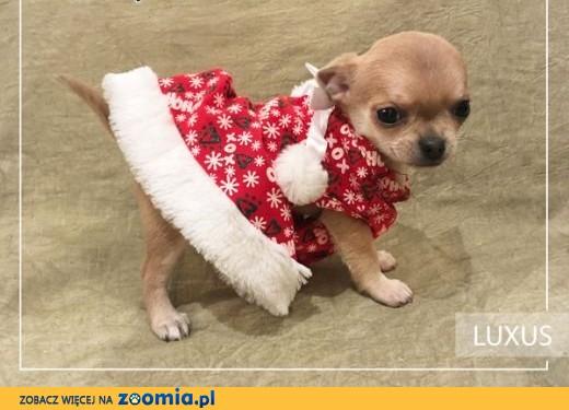 Chihuahua o imieniu Luxus,  rodowód ZKwP/FCI, urocze szczeniaczki,  Chihuahua cała Polska