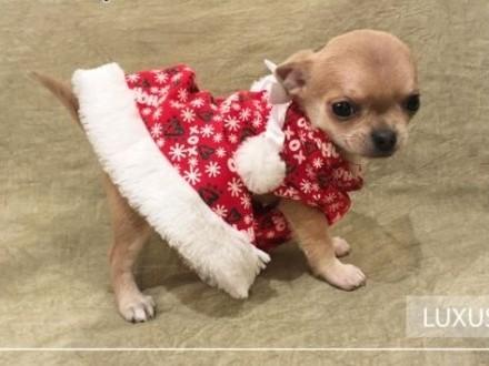 Chihuahua o imieniu Luxus   rodowód ZKwP/FCI  urocze szczeniaczki   Chihuahua cała Polska