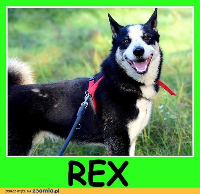 """2 letni,duży,typ husky, przyjazny,kontaktowy pies REX_DAM_"""""""