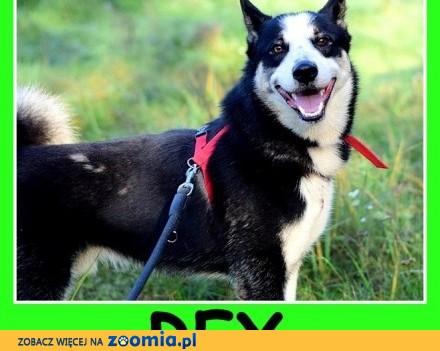 2 letni duży typ husky  przyjazny kontaktowy pies REX_DAM_