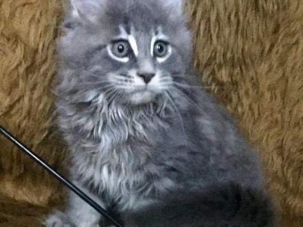 Maine Coon - piękny Figaro !