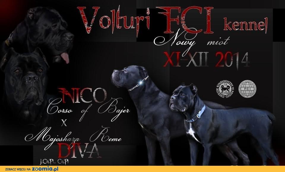 hodowla VOLTURI FCI - szczenięta cane corso