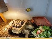 Żółw pustynny 6 lat z dokumentami_