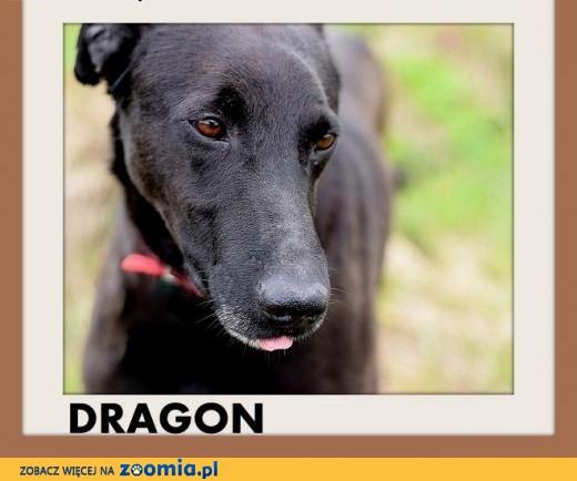 Nowość Ogłoszenia: oddam psa, oddam szczeniaka Cane Corso pl 1 SI24