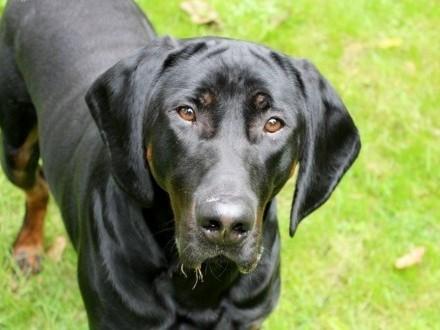 Dwuletni pies gończy polski do adopcji!   śląskie Częstochowa