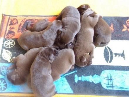 Sprzedam szczeniaki psy/chłopcy/ labrador retriever czekoladowe rodow.ZKwP/FCI/