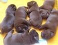 'Sprzedam szczeniaki psy/chłopcy/ labrador retriever czekoladowe rodow.ZKwP/FCI/