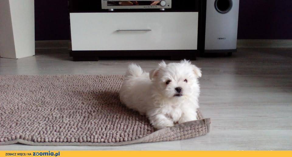 Maltańczyk Maltańczyki wychowywane w domu+wyprawka Royal Canin gratis!