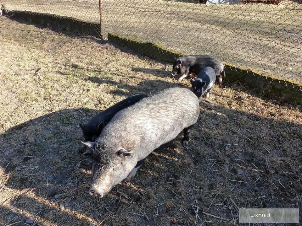 kozy i świne wietnamskie