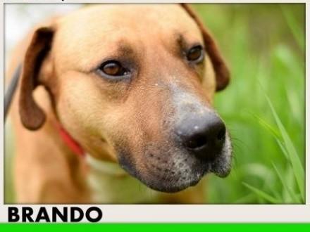 Amstaff mix 30kg łagodny przyjazny pies BRANDO   śląskie Katowice