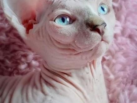 Bananka -rodowodowa koteczka z niebieskimi oczami